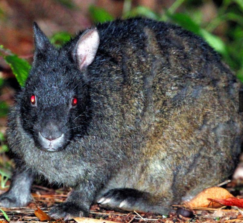 アマミノクロウサギの大きさやエサや黒い理由は?画像やハブと共生できるか紹介